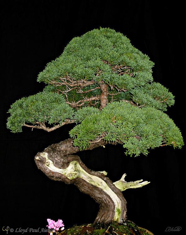 A bonsai juniper (Juniperus sargentii) at the New England Flower Show in Boston, MA