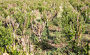 Set bed of cricket bat willow, Salix Alba Caerulea, which produces cuttings for new trees, near Bures, Essex, England