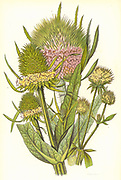 Teasle.  Wild Teasle  (Dipsacus sylvestris) centre. Small Teasle (D. pilosus) right. Fuller's Teasle (D. Sullonum) left, showing the hooked spines on the seed head which was used to raise nap on woollen cloth. From 'The Flowering Plants of Great Britain' by Anne Pratt (London, c1900). Chromolithograph.