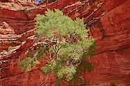 Arizona, Hualapai Canyon, Havasupai Nation.  Reservation, Grand Canyon region, Trail to Supai, Havasu Falls