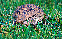 Western Box Turtle (Terrapene ornata) Prefers prairie grasslands and sandy soils.  Dark shell with yellow radiating lines  on shell.  Colorado plains.