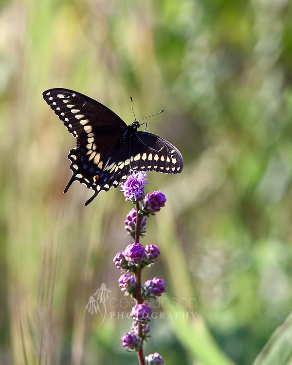 A Black Swallowtail butterfly sips nectar from a liatris.<br /> <br /> Black swallowtail (Papilio polyxenes)