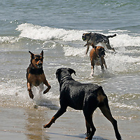 USA, California, Del Mar. Dogs playing in ocean at Dog Beach Del Mar.