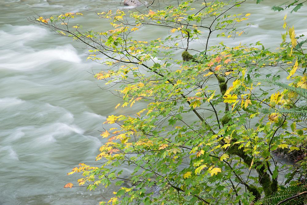 Autumn VineMaples Along Stillaquamish River, Washington State