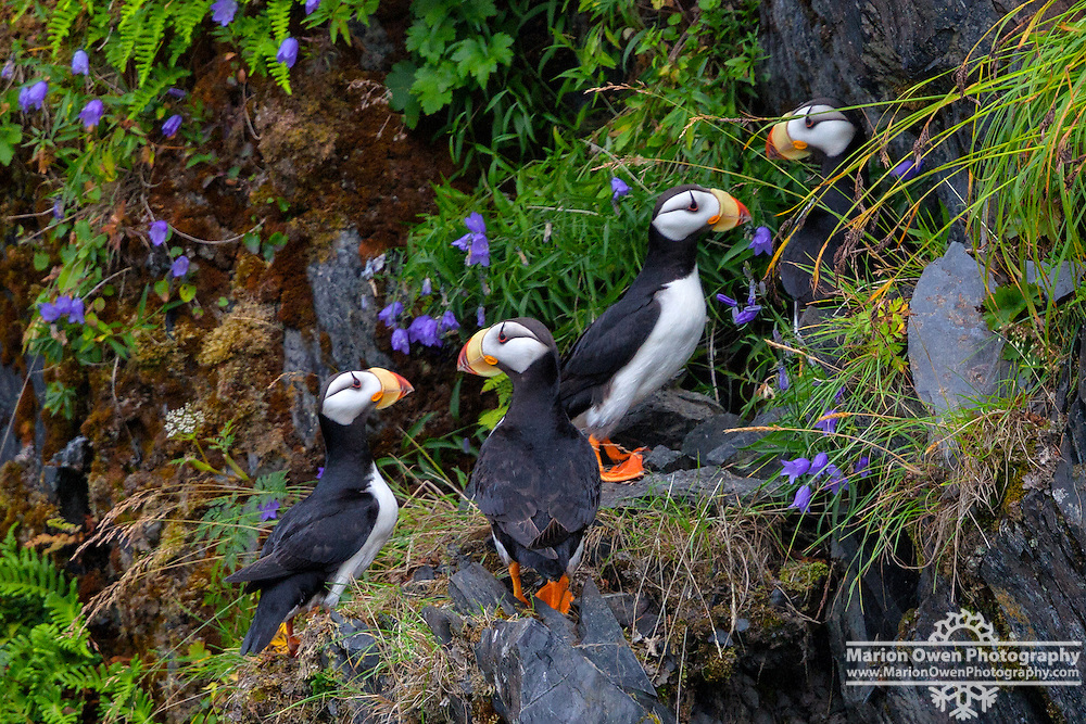 Four horned puffins gather on a cliff