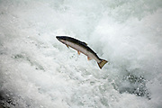A coho salmon (Oncorhynchus kisutch) jumping up a falls on the Lewis River, Washington.