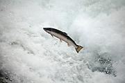A coho salmon (Oncorhynchus kisutch) jumping up a falls on the Lewis River, Washington.