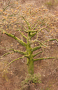 Ceibo (Kapok Tree)<br /> Ceiba trischistandra<br /> Pacific Dry Forest. Machalilla National Park<br /> off Coast of ECUADOR.  South America