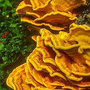 Striking even from a distance, this mushroom usually grows in large clusters of overlapping bright orange and yellow shelves on conifers. Shelves can exceed 12 inches in width, and a cluster can extend over several feet. When fresh, the fruitbodies are soft and somewhat fleshy to fibrous, but later they become tougher, and, eventually, fade and become soft and crumbly. Shelf margins are rounded and plump when young, becoming wavy and lobed with age. The pores are bright yellow when fresh and fade in age. Considered choice by many, but usually only the soft young outer portions of the shelf are worth eating.<br />