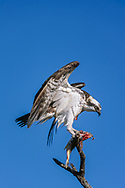 Osprey perched with partially eaten fish, keeping its balance with its wings, Florida, © David A. Ponton