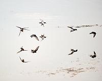 Dunlin (Calidris alpina).  Merritt Island National Wildlife Refuge. Image taken with a Nikon D3s camera and 200-400 mm f/4 VR lens.