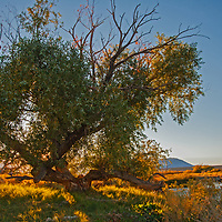 A black willow tree grows beside the Owens River near Bishop in the Owens Valley, California.