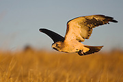 Red-tailed hawk used for educational purposes.  This hawk is the most widespread and commonly observed hawk in the western United States.