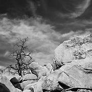 Desert Oak Dramatic Sky - Infrared Black & White