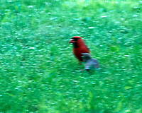 Northern Cardinal. Image taken with a Nikon D4 camera and 500 mm f/4 VR lens.