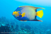 A Queen Angelifsh, Holacanthus ciliaris, swims over the Breakers coral reef offshore Palm Beach, Florida, United States. Image available as a premium quality aluminum print ready to hang.