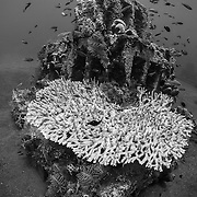 INDONESIA. Amed, Bali. July 14th, 2013. Approximately 50 concrete pyramid structures were sunk in 2005 to become an artificial reef. Many of these structures have been adopted as cleaning stations and are teeming with life.