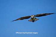 00783-01112 Osprey (Pandion haliaetus) male in flight    FL