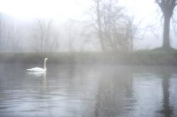 14-03-2014 PRI NED: Zwaan op de vecht, Maarssen<br /> Knobbelzwaan in de mist<br /> l