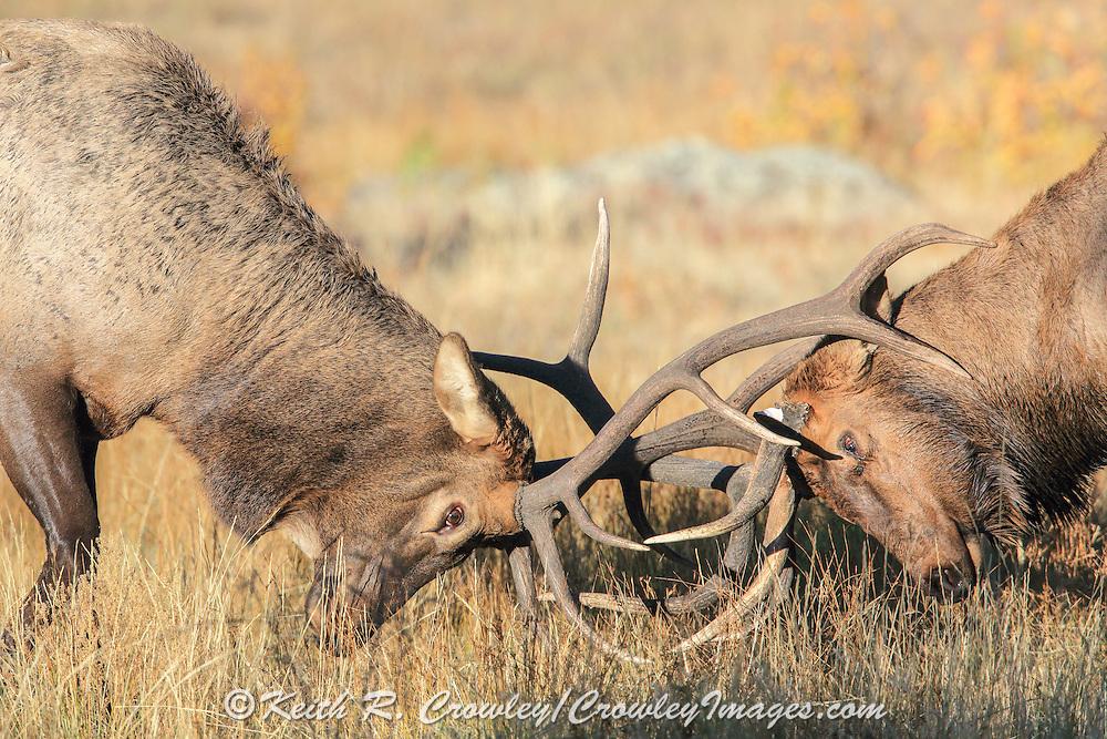 Bull elk with broken antler battles another bull and endangers his already injured left eye.