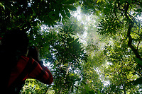 Wide view looking up at an orangutan high in the canopy.  Research assistant Toto.<br /><br />Bornean Orangutan <br />Wurmbii Sub-species<br />(Pongo pygmaeus wurmbii)<br /><br />Gunung Palung Orangutan Project<br />Cabang Panti Research Station<br />Gunung Palung National Park<br />West Kalimantan Province<br />Island of Borneo<br />Indonesia