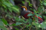Red-tailed Laughingthrush, Trochalopteron milnei, sitting on a branch in Baihualing, Gaoligongshan, Yunnan, China