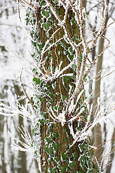 Ivy growing up tree trunk in winter with frost and snow. Hedera helix