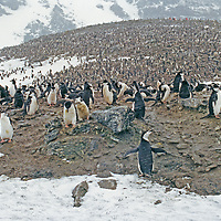 PENGUINS.  Chinstrap penguin rookery on Coronation Island, in the South Orkney Islands near Antarctica in the South Atlantic Ocean.