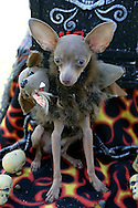 31st October 2009. Long Beach, California. The Haute Dog Howl'oween Parade in Long Beach. Pictured is Romeo the chihuahua dressed as a three headed dog. PHOTO © JOHN CHAPPLE / www.chapple.biz.john@chapple.biz  (001) 310 570 9100.