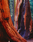 Fire resistant bark and fire scars on giant sequoias, Sequoiadendron giganteum, The Senate Group, Congress Trail, Sequoia National Park, California.