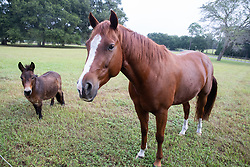 Horses, Alan & Iris's Home, Umatilla, Florida