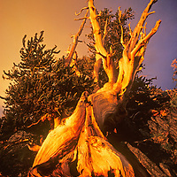 A weather-beaten Bristlecone Pine survives the arid, high altitude climate of California's White Mountains in the U.S. Forest Service's Ancient Bristlecone Pine Forest.
