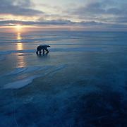 Polar bear (Ursus maritimus) on the frozen ice of Churchill, Manitoba, Canada during the evening.