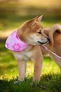 A close up of an Akita puppy wearing a pink neckerchief.