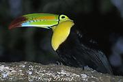 keel-billed toucan, Ramphastos sulfuratus (c), Belize, Central America