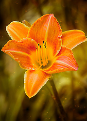 A single daylily pops from the tall grasses begging to be photographed
