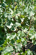 Israel, Lower Galilee, Tabor Winery, ripening gewurztraminer grapes on the vines two weeks before harvest July 2008