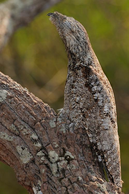 Great potoo (Nyctibius grandis), Pantanal, Brazil.