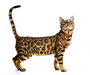 Champion Glitterglam King Midas of Giradelle (pet name: Midey)<br /> Breed: Brown spotted Bengal