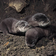 River Otter, (Lutra canadensis) Pair of young near river. Montana. Captive Animal.