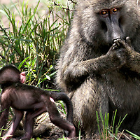 A mother baboon keeps her eyes on one of her young in the Masai Mara in Kenya.<br /> Photo by Shmuel Thaler <br /> shmuel_thaler@yahoo.com www.shmuelthaler.com
