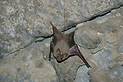 Hardwick's Mouse-tailed Bat (Rhinopoma hardwickei), or Lesser Mouse-tailed Bat, Photographed in the Nimrod Fortress, Golan Heights, Israel