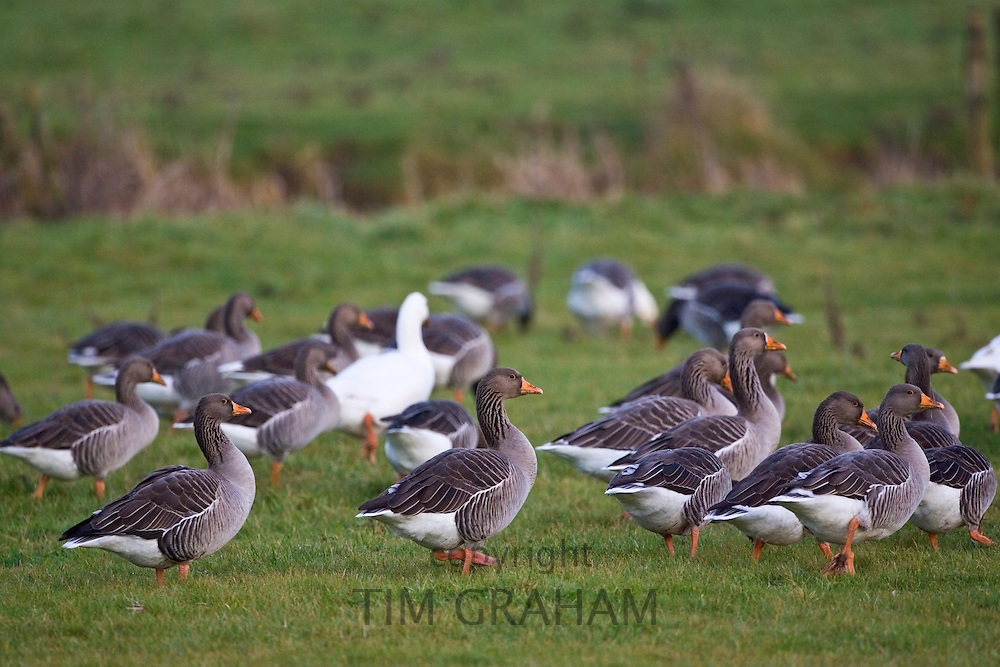 Greylag Geese, Swinbrook, Oxfordshire, UK. Free-range birds may be at risk if Avian Flu  bird flu virus spreads.