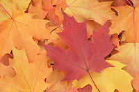 Maple leaves in fall color