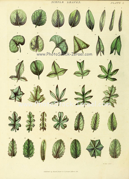 Simple Leaves from Vol 1 of the book The universal herbal : or botanical, medical and agricultural dictionary : containing an account of all known plants in the world, arranged according to the Linnean system. Specifying the uses to which they are or may be applied By Thomas Green,  Published in 1816 by Nuttall, Fisher & Co. in Liverpool and Printed at the Caxton Press by H. Fisher
