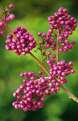 The berries of Callicarpa bodinieri var. giraldii 'Profusion'