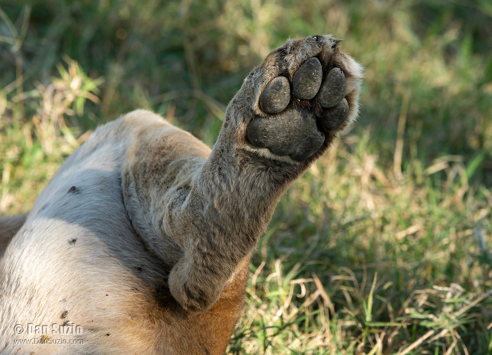 Close-up of the left hind foot of a female Lion, Panthera leo  melanochaita, resting in the shade of a tree in Ngorongoro Crater, Ngorongoro Conservation Area, Tanzania