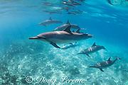 Hawaiian spinner dolphins or Gray's spinner dolphin, Stenella longirostris longirostris, swim across a shallow reef, South Kohala Coast, Hawaii ( the Big Island ), USA ( Central Pacific Ocean )
