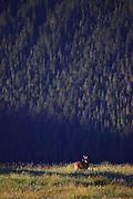Deer in Olympic National Park, Washington.