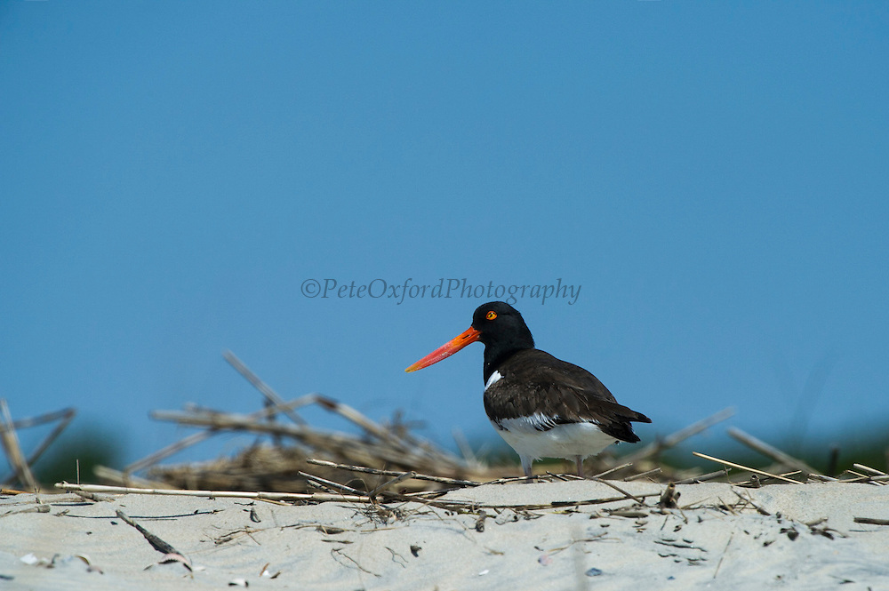 American oystercatcher (Haematopus palliatus)<br /> Little St Simon's Island, Barrier Islands, Georgia<br /> USA<br /> HABITAT & RANGE: Wetlands & coastlines of eastern USA south to Central and northern South America